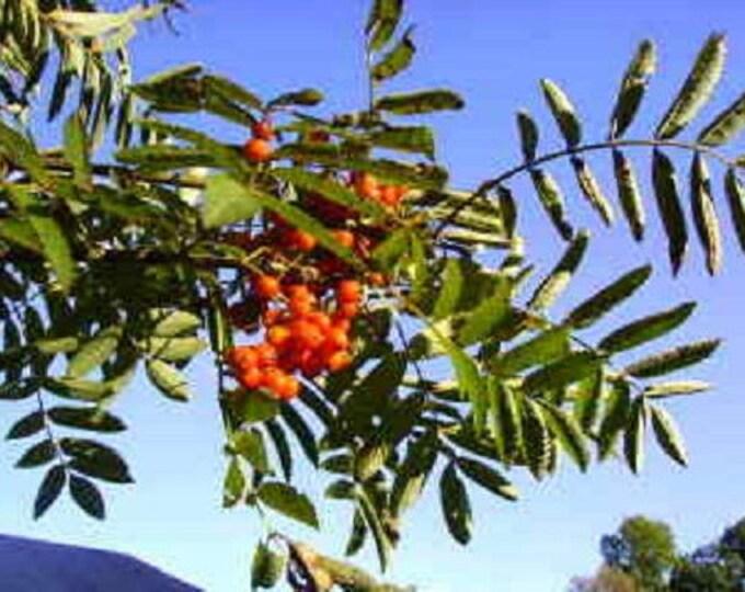 20 ASH TREE Mountain / Amur / Rowan - Sorbus Aucuparia Seeds *Comb S/H