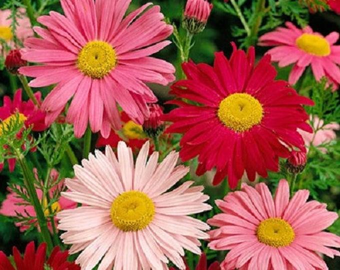 100 ROBINSONS PAINTED DAISY Chrysanthemum Flower Seeds
