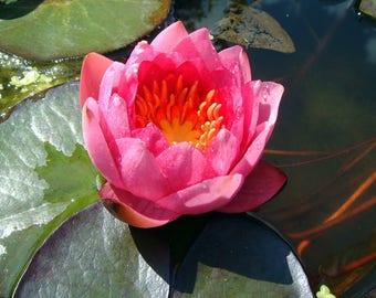 10 Pink Lotus WATER LILY Pad Nymphaea Sp Pond Flower Seeds