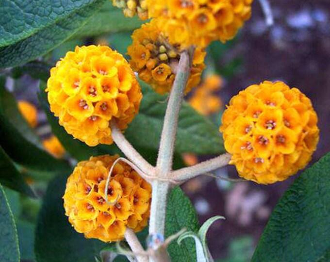 10 ORANGE BALL TREE / Golden Butterfly Bush Buddleja Globosa Shrub Flower Seeds *Flat Shipping