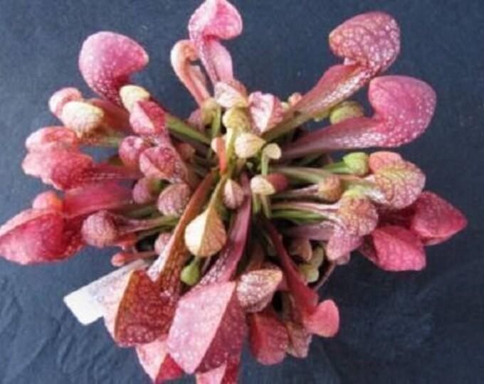 10 Carnivorous PARROT PITCHER PLANT Sarracenia Psittacina Red Flower Seeds
