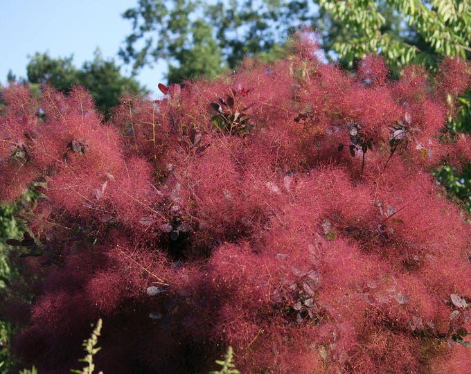 30 PURPLE SMOKE TREE Shrub Smokebush Cotinus Coggygria Rhus Cotinus Sumach Seeds