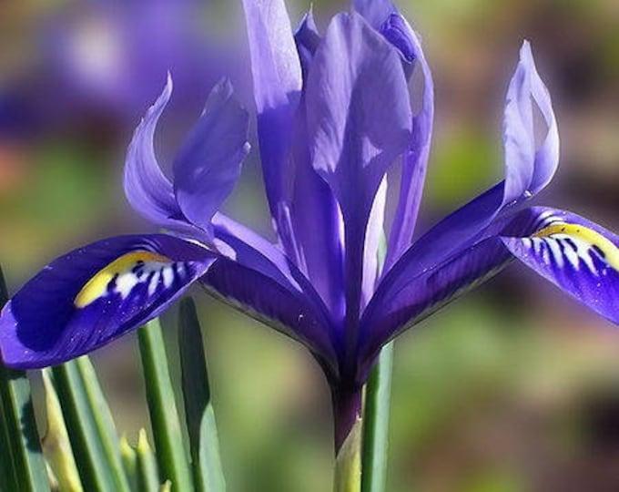 50 PURPLE OREGON IRIS (Tough-Leaf Iris) Iris Tenax Flower Seeds
