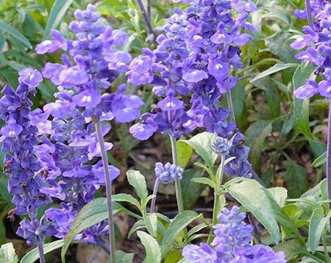 500 BLUE BEDDER SAGE Salvia Farinacea Flower Seeds