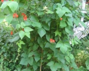 50 KENTUCKY WONDER Pole BEAN Phaseolus Vulgaris Vegetable Seeds