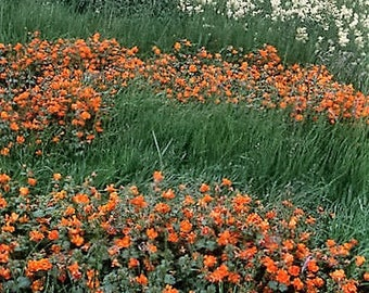 100 Twinkle ORANGE MONKEY FLOWER Mimulus Seeds *Comb S/H