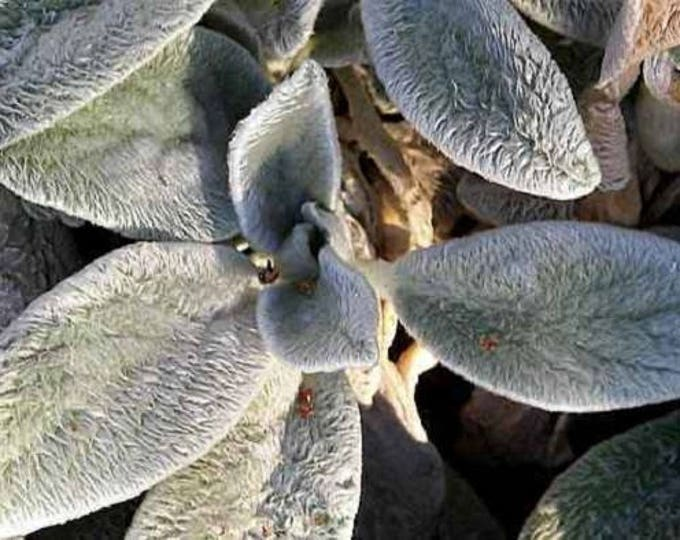 100 Wolly LAMBS EAR Byzantina Flower Seeds