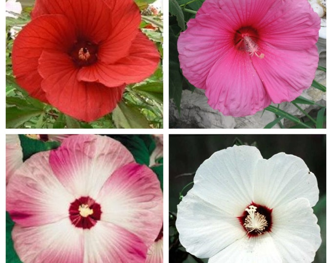 25 MIXED LUNA HIBISCUS Moscheutos Hardy Mixed Colors - Red, Hot Pink, Pink & White Swirl, and White Flower Seeds