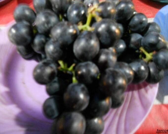5 Giant BLACK GLOBE GRAPE Seeds Vitis Fruit Vine Seeds *Comb S/H