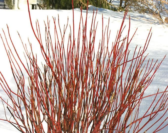 20 RED TWIG DOGWOOD American Red Osier Shrub White Flower Cornus Sericea Seeds