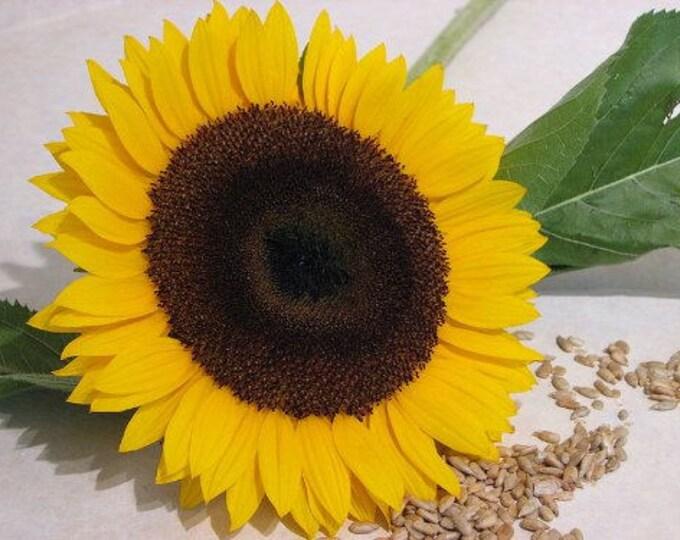 25 EBONY & GOLD SUNFLOWER Helianthus Annuus Flower Seeds