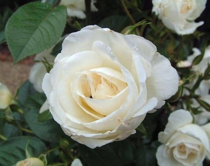 5 WHITE ROSE Rosa Bush Shrub Perennial Flower Seeds *Flat Shipping
