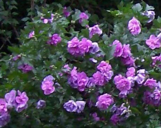 50 Purple Double ROSE Of SHARON HIBISCUS Syriacus Flower Tree Bush Seeds *Flat Shipping