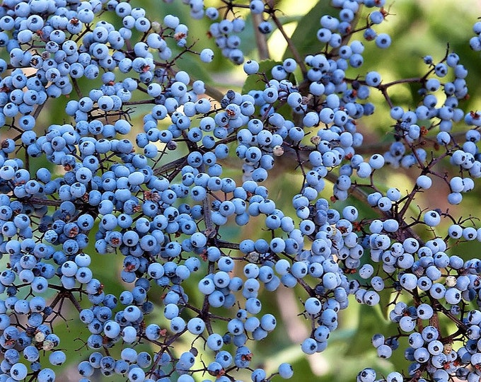 50 BLUE ELDERBERRY Sambucus Caerulea Arizona Blue Elder Tree Shrub Fruit Berry Seeds