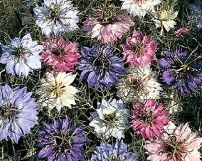 500 LOVE In A MIST PERSIAN Jewels Mixed Colors (Fennel Flower) Nigella Damascena Flower Seeds