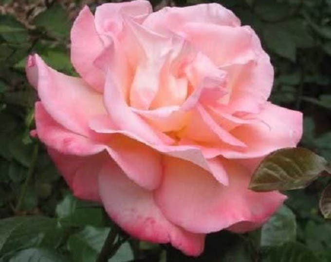 5 PINK ROSE Rosa Bush Shrub Perennial Flower Seeds *Flat Shipping