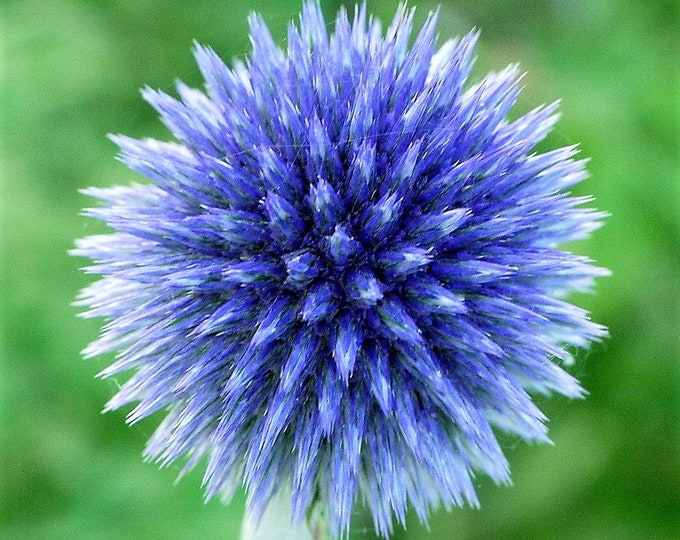 25 Blue GLOBE THISTLE Echinops Ritro Southern Globethistle Pollinator Flower Seeds + Gift