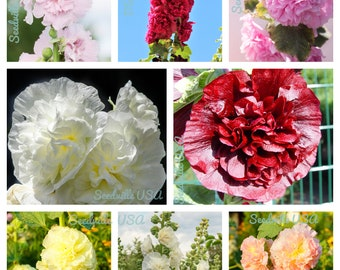 50 Dwarf Double HOLLYHOCK MAJORETTE MIX Alcea Rosea Red Pink White Maroon Yellow Mixed Color Flower Seeds