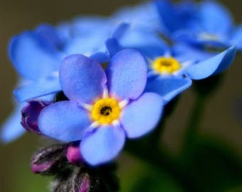 500 Blue Chinese FORGET ME NOT (Hounds Tongue) Cynoglossum Amabile Flower Seeds