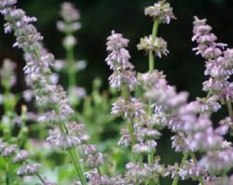 200 BROADLEAF SAGE Salvia Officinalis Flower Seeds