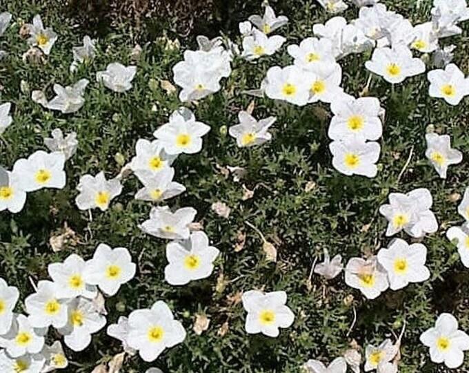 150 WHITE Robe CUP FLOWER Nierembergia Hippomanica Caerulea Seeds