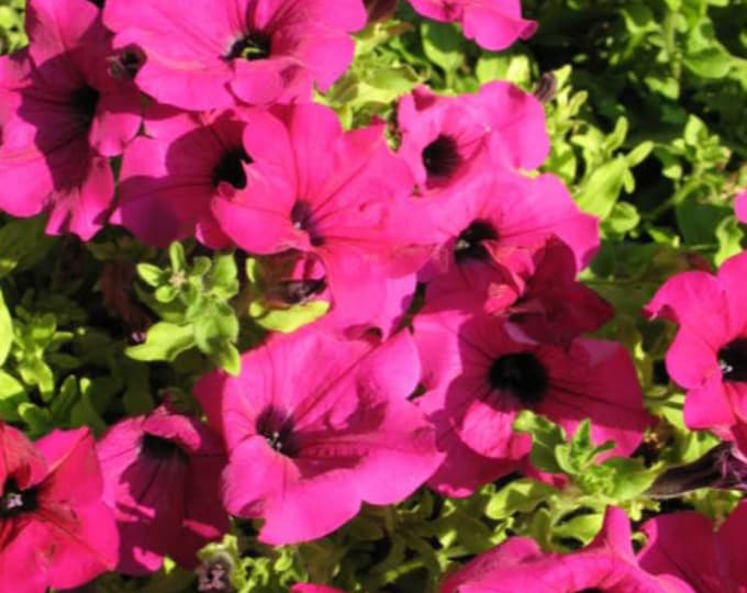 200 Pink LAURA BUSH PETUNIA Violacea Perennial Frilled Trumpet Flower Seeds
