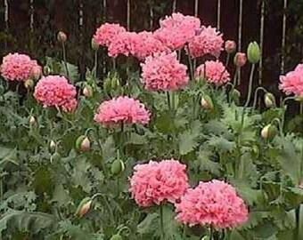 250 Bombast ROSE PEONY POPPY Papaver Peoniflorum Flower Seeds