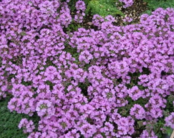 1000 THYME Common, English, German, French, Garden, or Winter Thymus Vulgaris Herb Flower Seeds