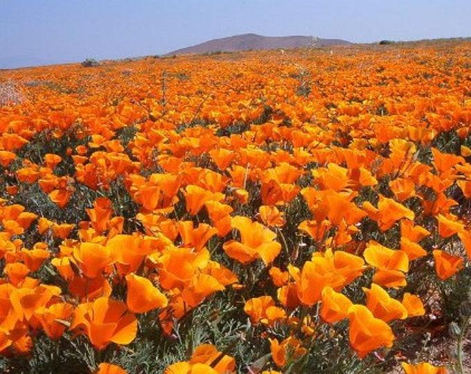 1000 ORANGE CALIFORNIA POPPY Eschscholzia Californica Flower Seeds