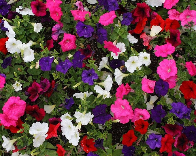 200 Mixed LAURA BUSH PETUNIA Violacea Pink Purple White Trumpet Flower Seeds