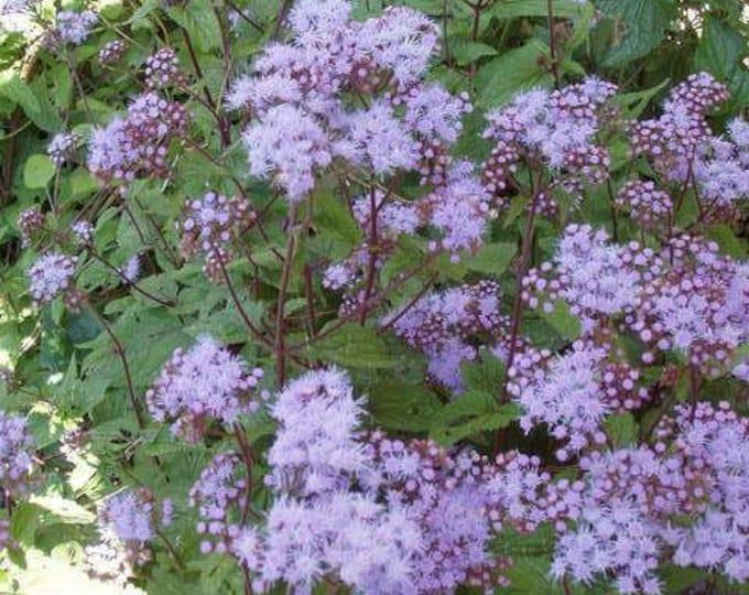 100 PURPLE MISTFLOWER (Hardy or Wild Ageratum) Eupatorium Coelstinum Flower Seeds