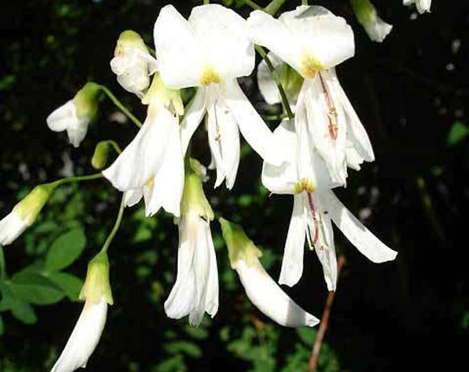 10 YELLOW ASH TREE Yellowwood White Flowers Cladrastis Lutea Kentukea Seeds