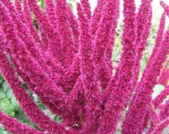 200 Giant LOTUS PURPLE AMARANTHUS Hypochondriacus Amaranth Greens Flower Seeds