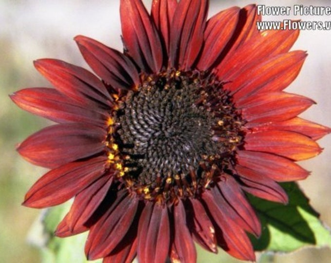 25 Red VELVET QUEEN SUNFLOWER Helianthus Annuus Flower Seeds