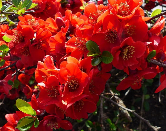 20 Red Flowering DWARF QUINCE Shrub Fruit Chaenomeles Japonica Scarlet Seeds