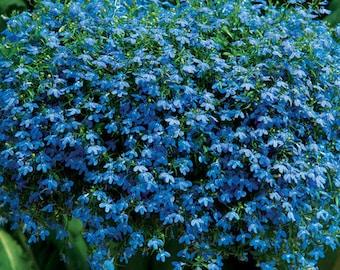 200 BLUE SAPPHIRE LOBELIA Erinus Trailing for Planters or Groundcover Flower Seeds
