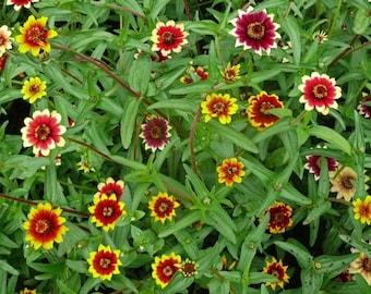 75 Mixed Colors PERSIAN CARPET ZINNIA Zinnia Haageana Flower Seeds
