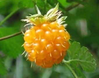 20 SALMONBERRY RUSSIAN RASPBERRY Rubus Spectabilis Fruit Seeds Purple Flowers