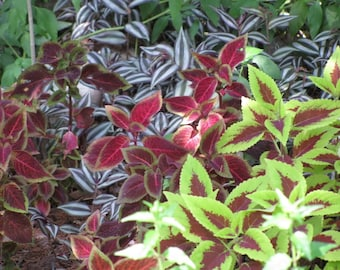 100 Mixed Colors COLEUS RAINBOW MIX Coleus Hybridus Flower Seeds