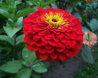 250 Red CHERRY QUEEN ZINNIA Elegans Flower Seeds