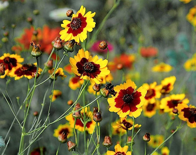1000 PLAINS COREOPSIS (Golden Tickseed) Coreopsis Tinctoria Flower Seeds