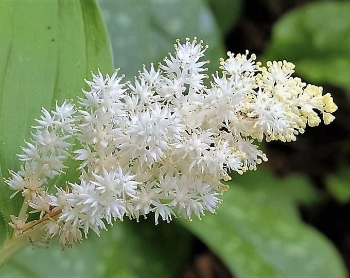 10 SOLOMON'S SPIKE White Western False Seal Maianthemum Racemosum Flower Seeds