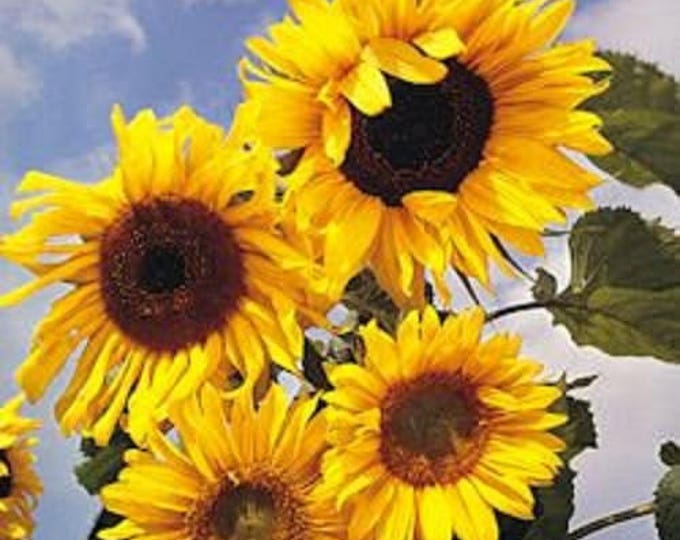 10 Early MAMMOTH RUSSIAN SUNFLOWER Helianthus Annuus Flower Seeds