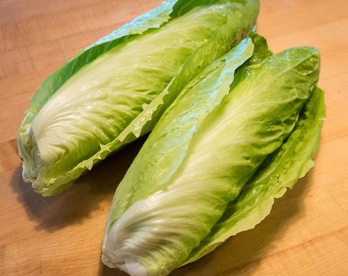 250 SUGAR LOAF ENDIVE Radicchio Escarole Cichorium Intybus Green Vegetable Seeds