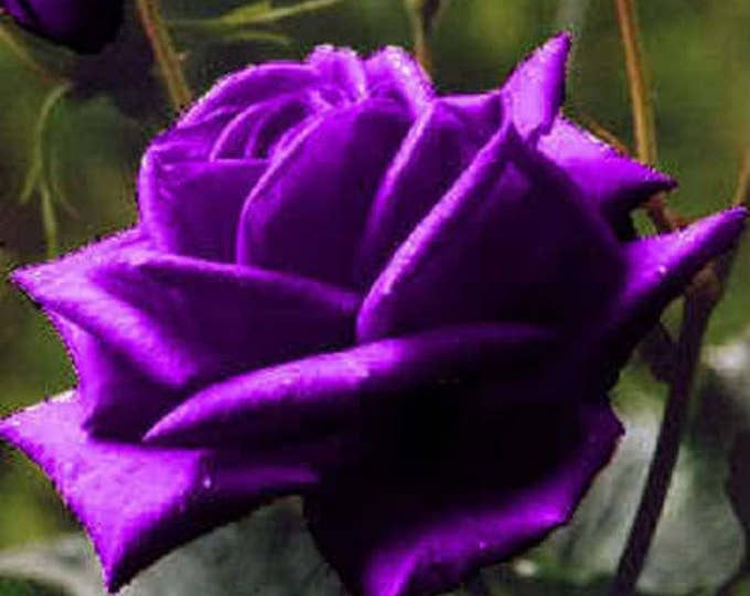 5 PURPLE ROSE Rosa Bush Shrub Perennial Flower Seeds *Comb S/H