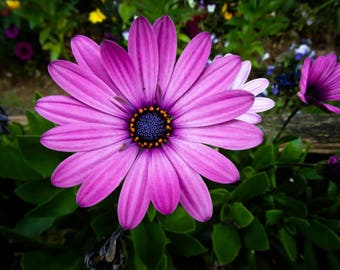 25 PURPLE AFRICAN Cape DAISY Dimorphotheca Flower Seeds *Comb S/H