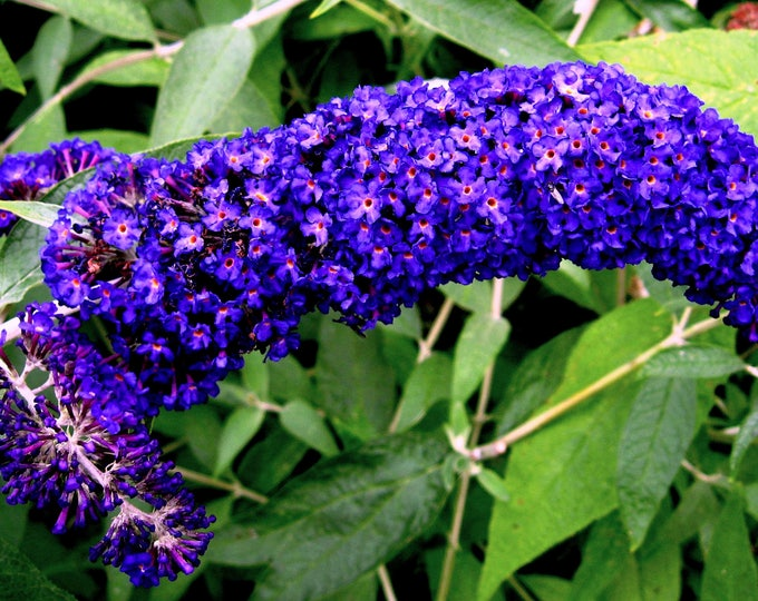 50 Dark PURPLE BUTTERFLY BUSH Buddleia Davidii Hummingbird Shrub Fragrant Flower Seeds