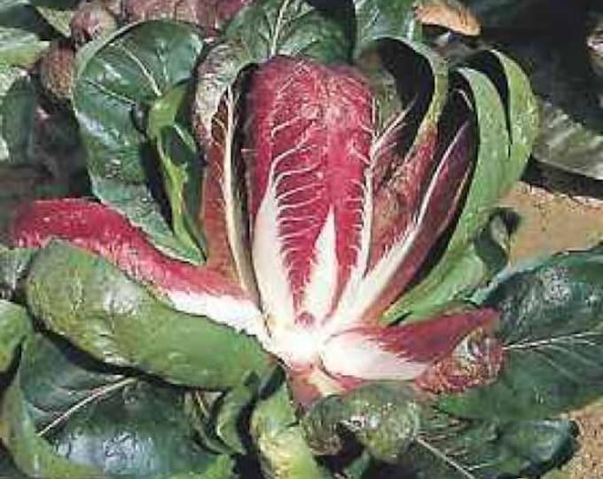 100 ROSSA Di VERONA RADICCHIO / Endive Italian Cichorium Intybus Vegetable Seeds