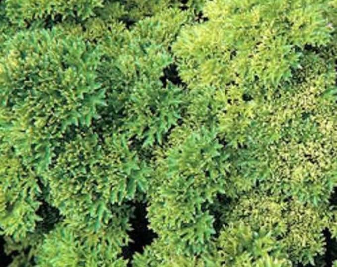 1000 MOSS CURLED PARSLEY Petroselinum Crispum Herb Vegetable Flower Seeds
