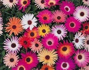 200 MIXED Colors ICE PLANT ( Mesembryanthemum Daisy / Livingstone Daisy ) Dorotheanthus Bellidiformis Flower Seeds